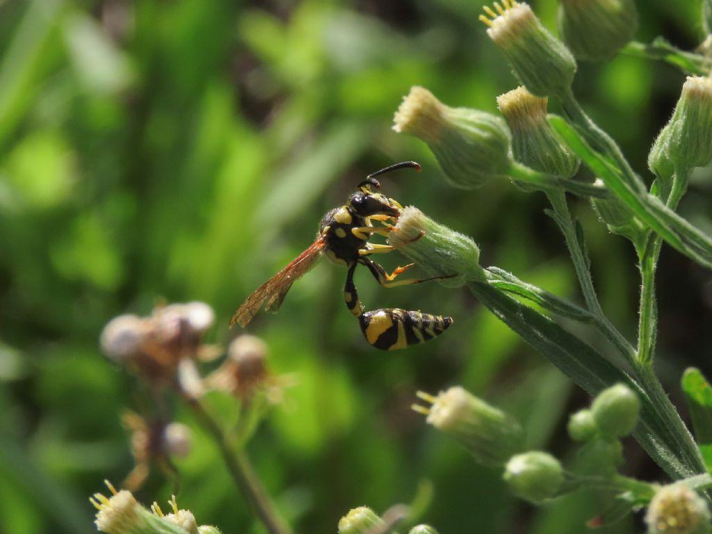 Vespidae Eumeninae: Eumenes mediterraneus