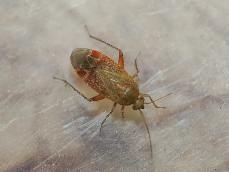 Miridae: Psallus cfr. variabilis