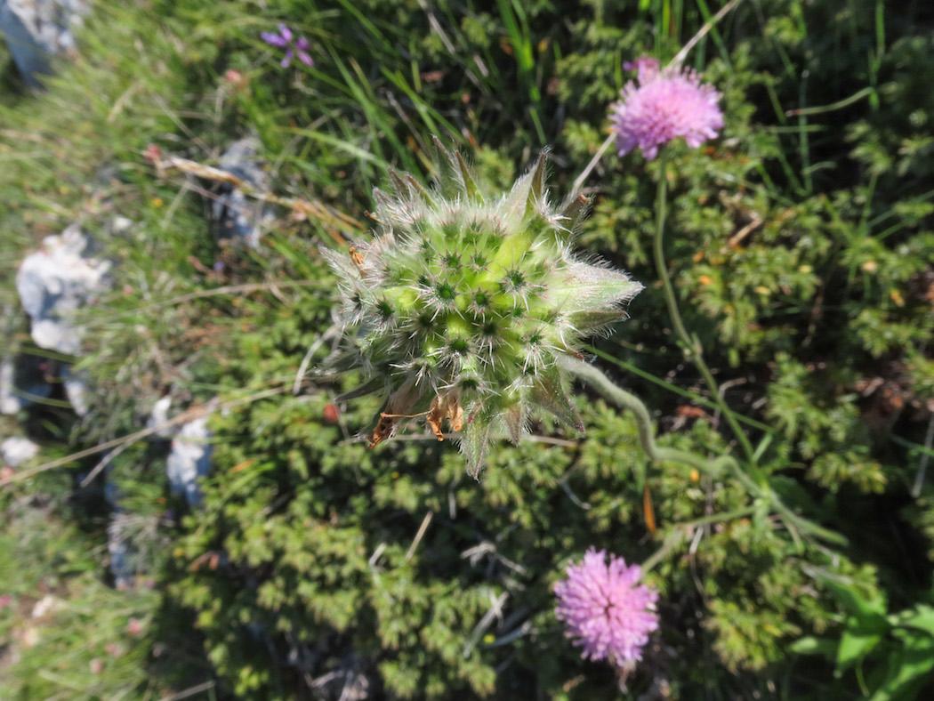 Knautia dinarica subsp. silana / Ambretta della Sila