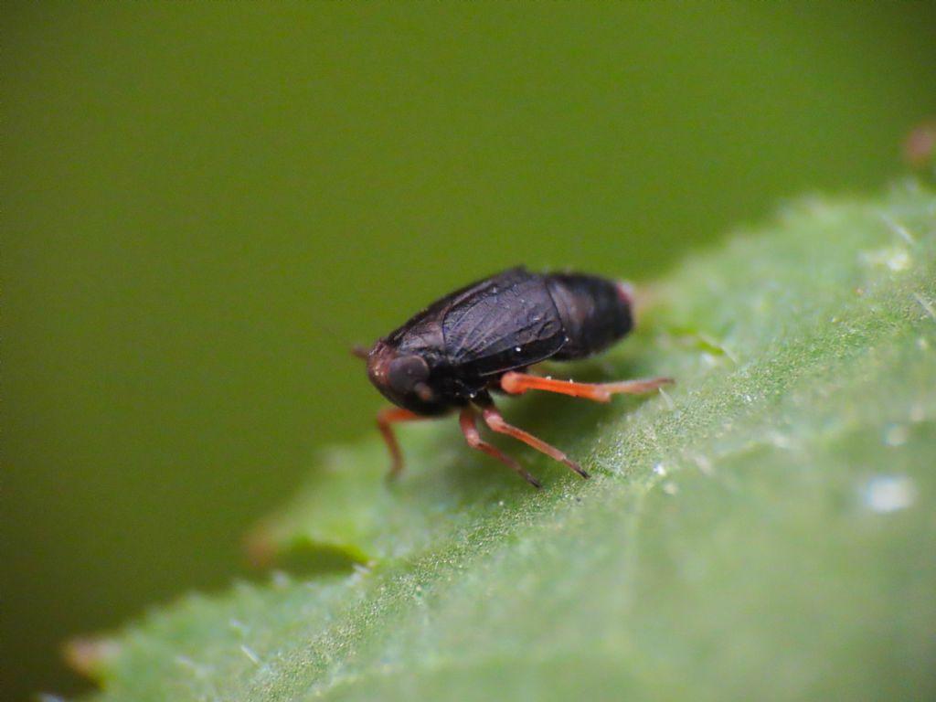Delphacidae? Sì, Metropis sp.