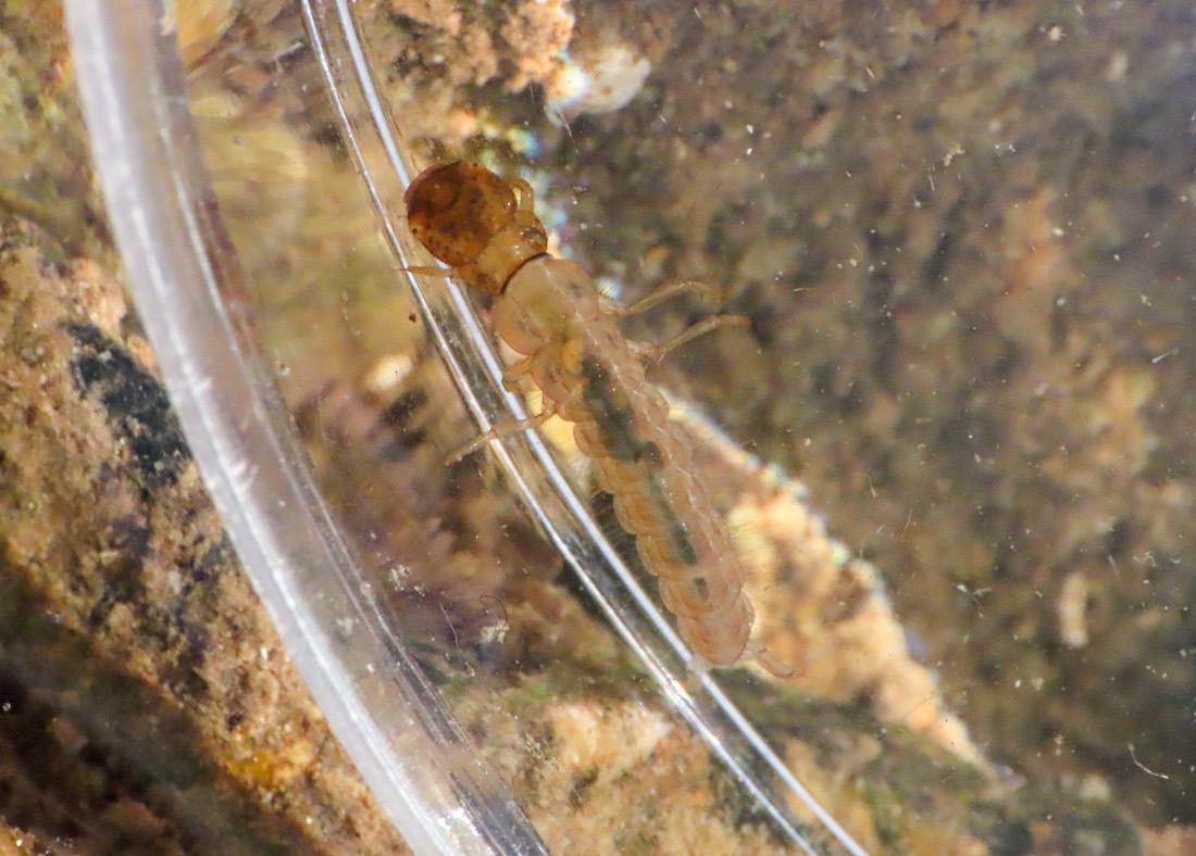 Larva da identificare