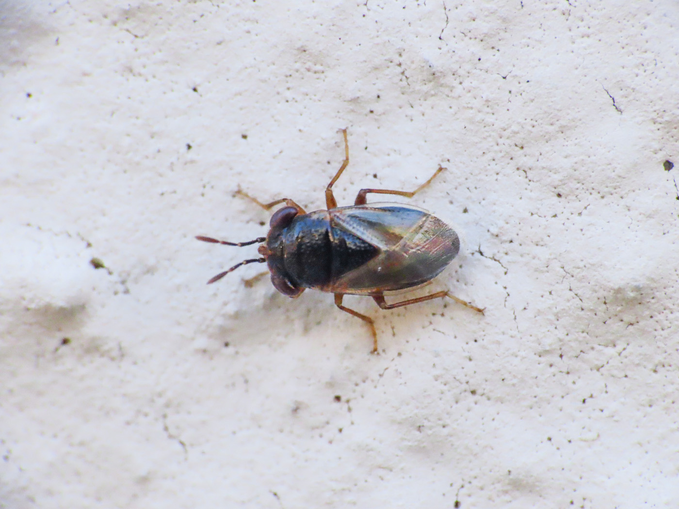 Lygaeidae: Geocoris megacephalus
