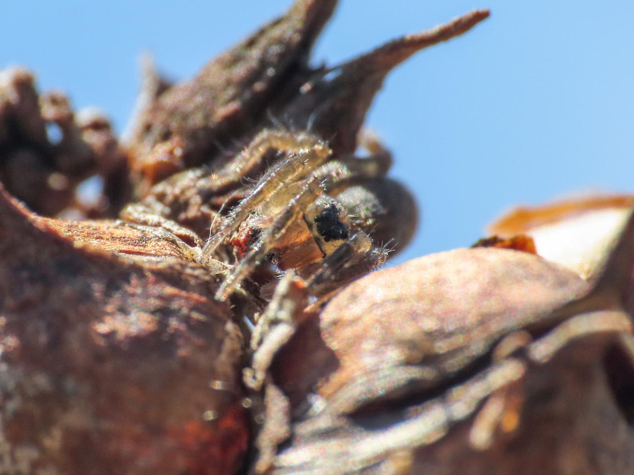 Lycosidae da identificare