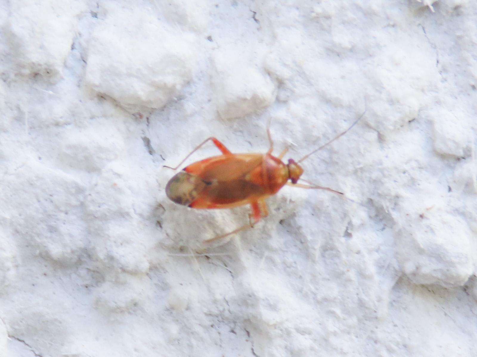 Miridae: Pinalitus rubricatus
