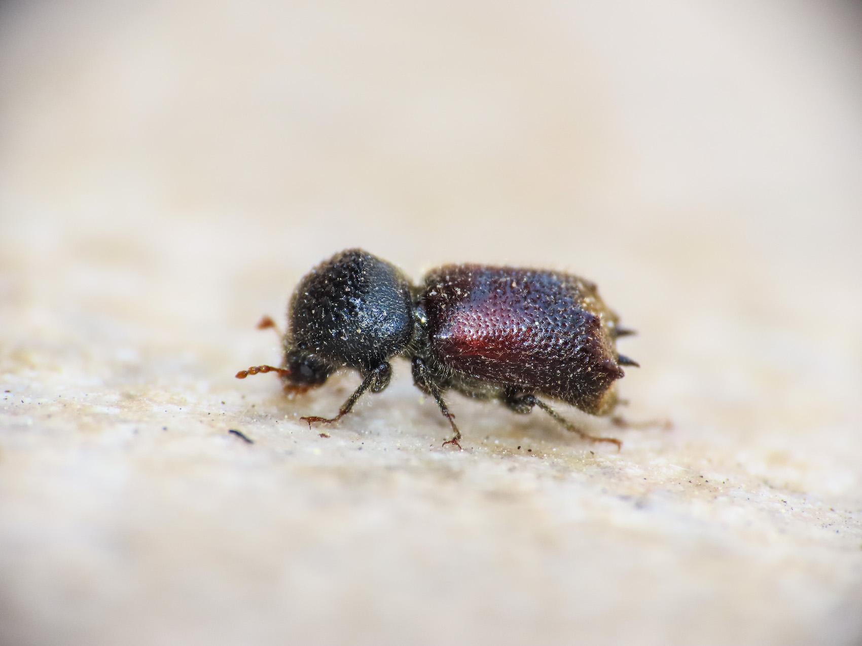 Bostrichidae: Sinoxylon sexdentatum
