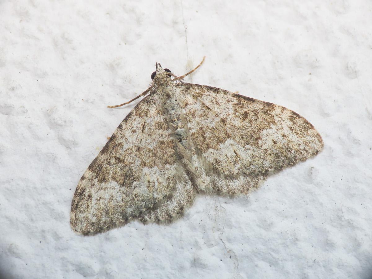 Geometridae: Coenotephria salicata