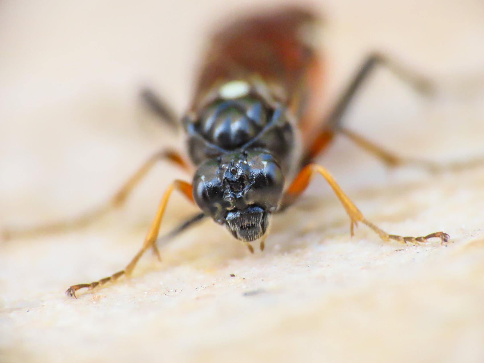 Tenthredinidae da identificare: Tenthredopsis sp.