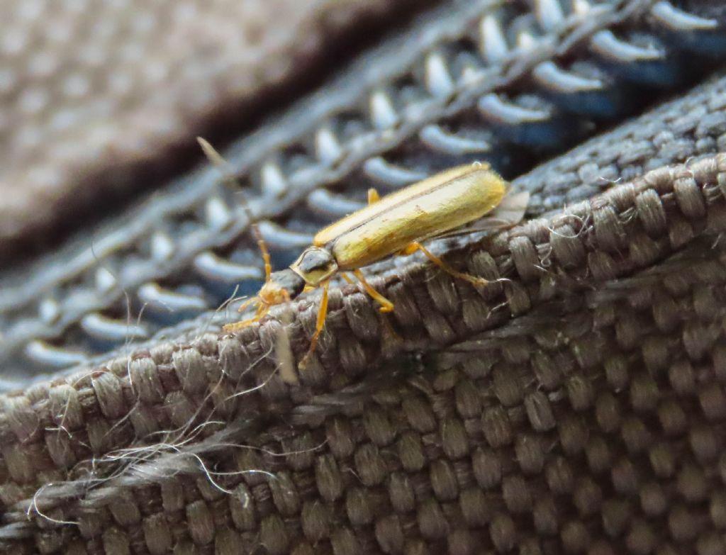 Cantharidae: Rhagonycha nigrosuta
