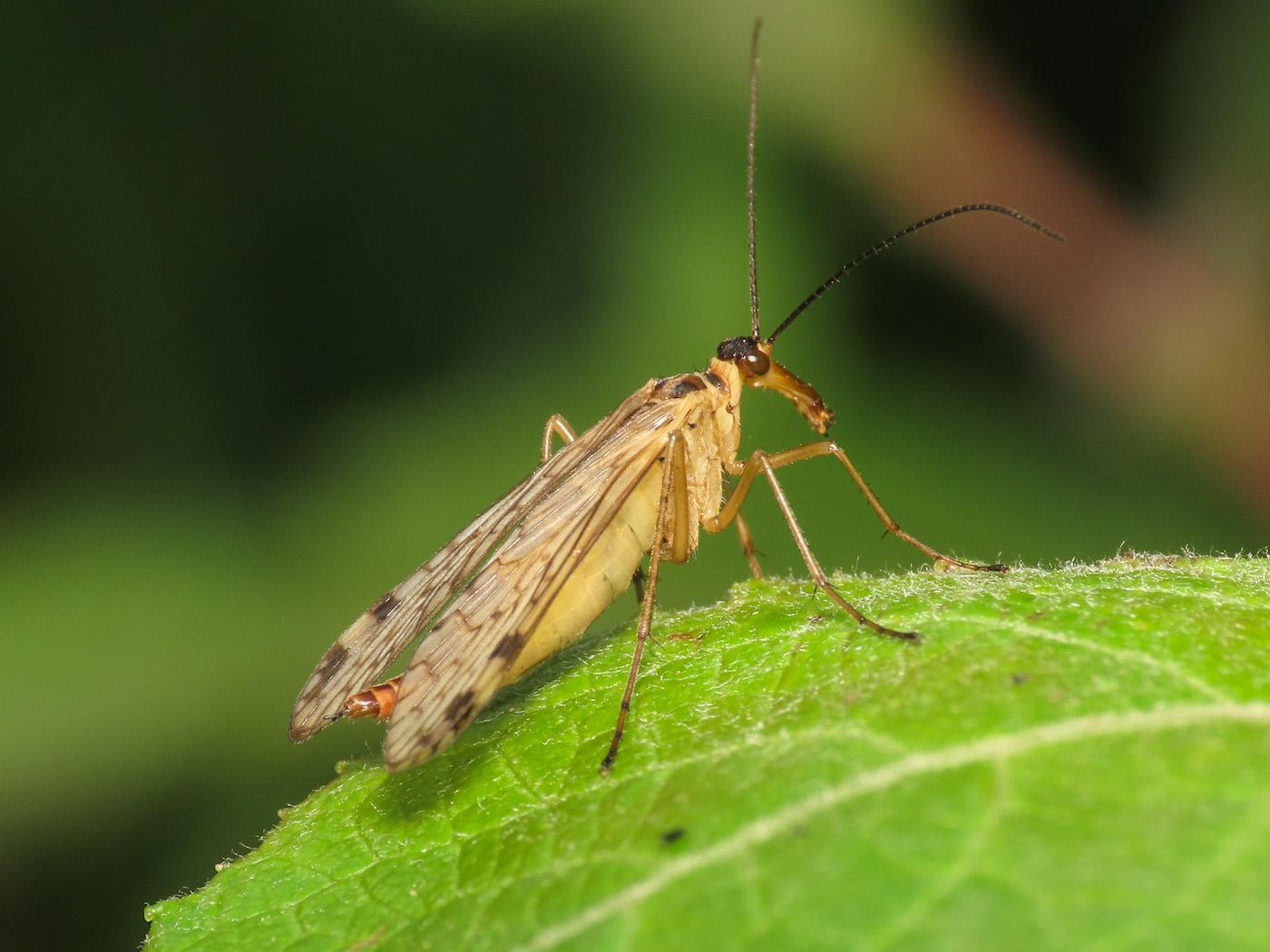 Panorpa alpina, femmina