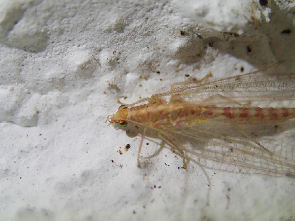Chrysopidae? da identificare
