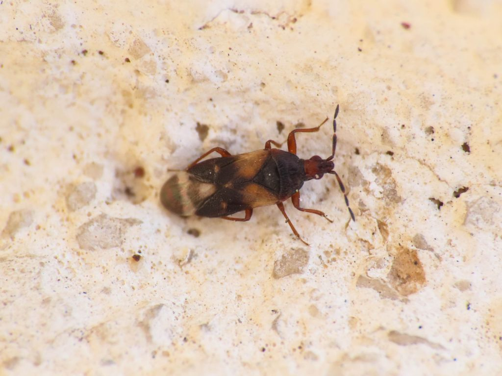 Anthocoridae: Anthocoris minki minki