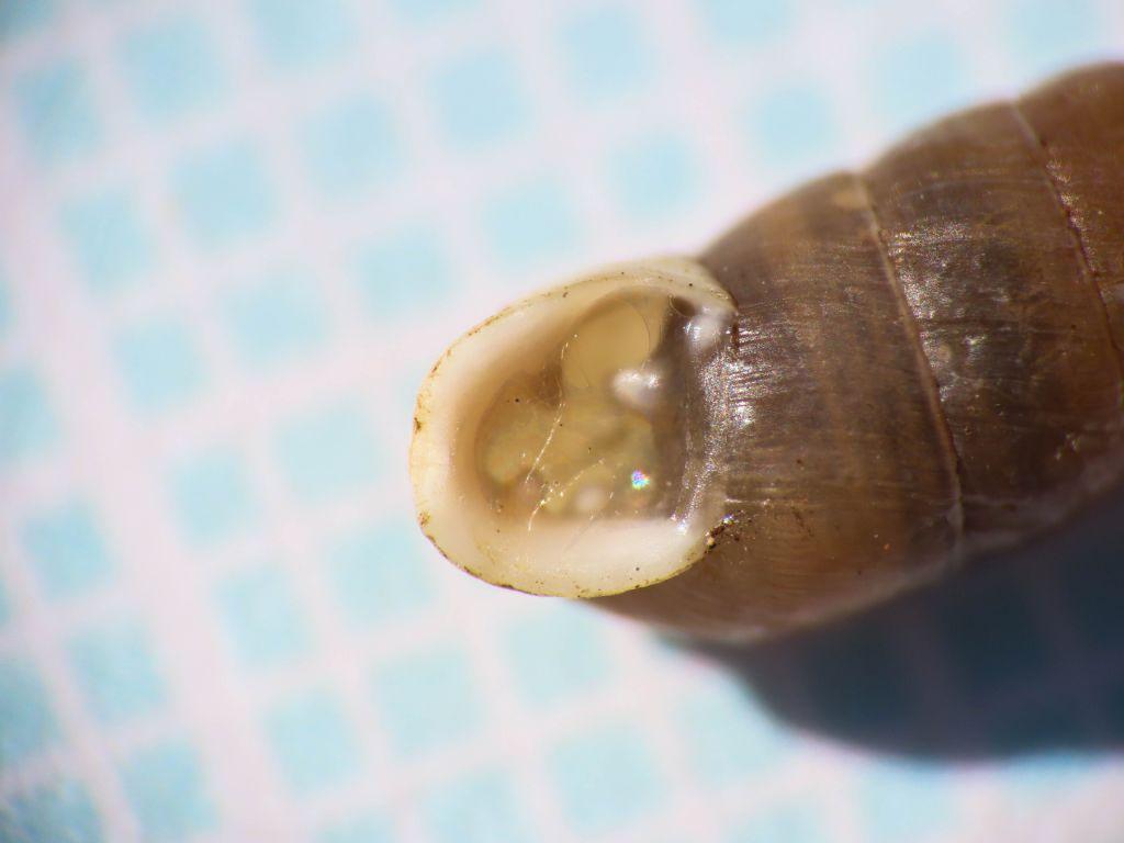 Gasteropode da identificare