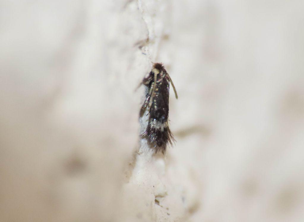 Nepticulidae? Sì, cfr. Enteucha acetosae