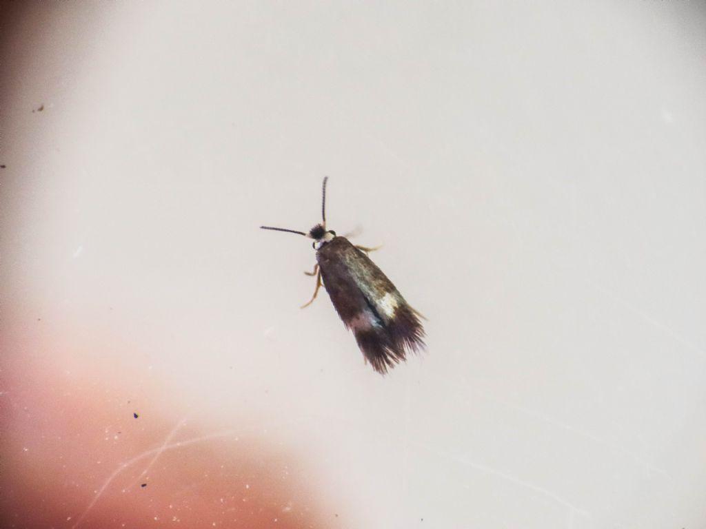 Nepticulidae:  Stigmella prunetorum? No, Stigmella aceris
