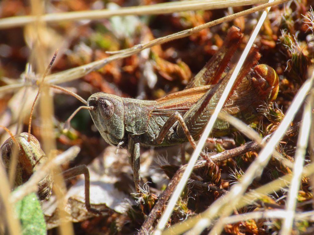 Acrididae: Gomphocerippus rufus m & f