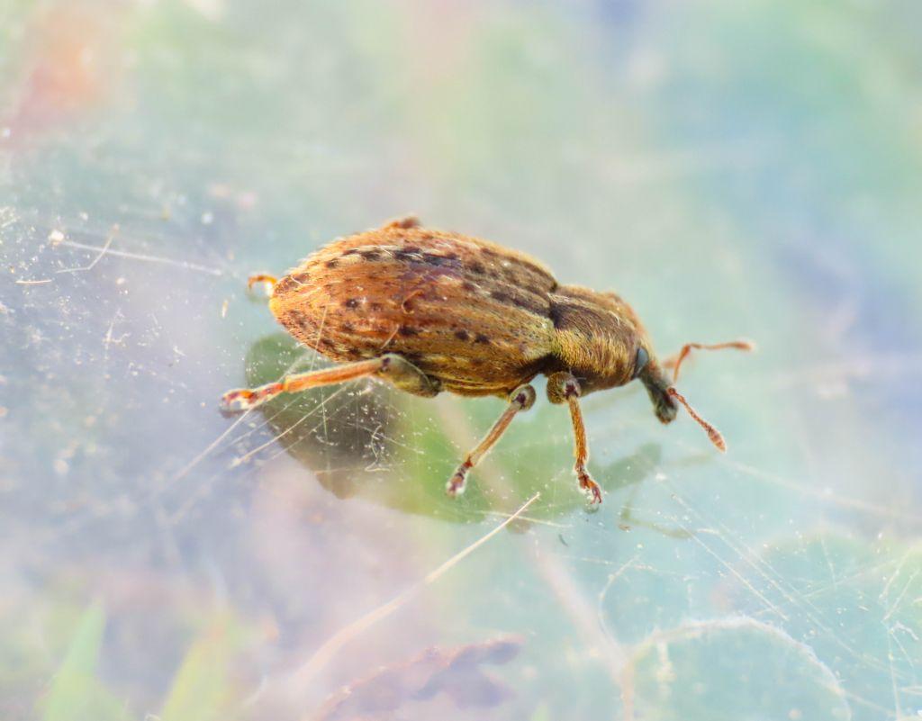 Curculionidae: Hypera melancholica