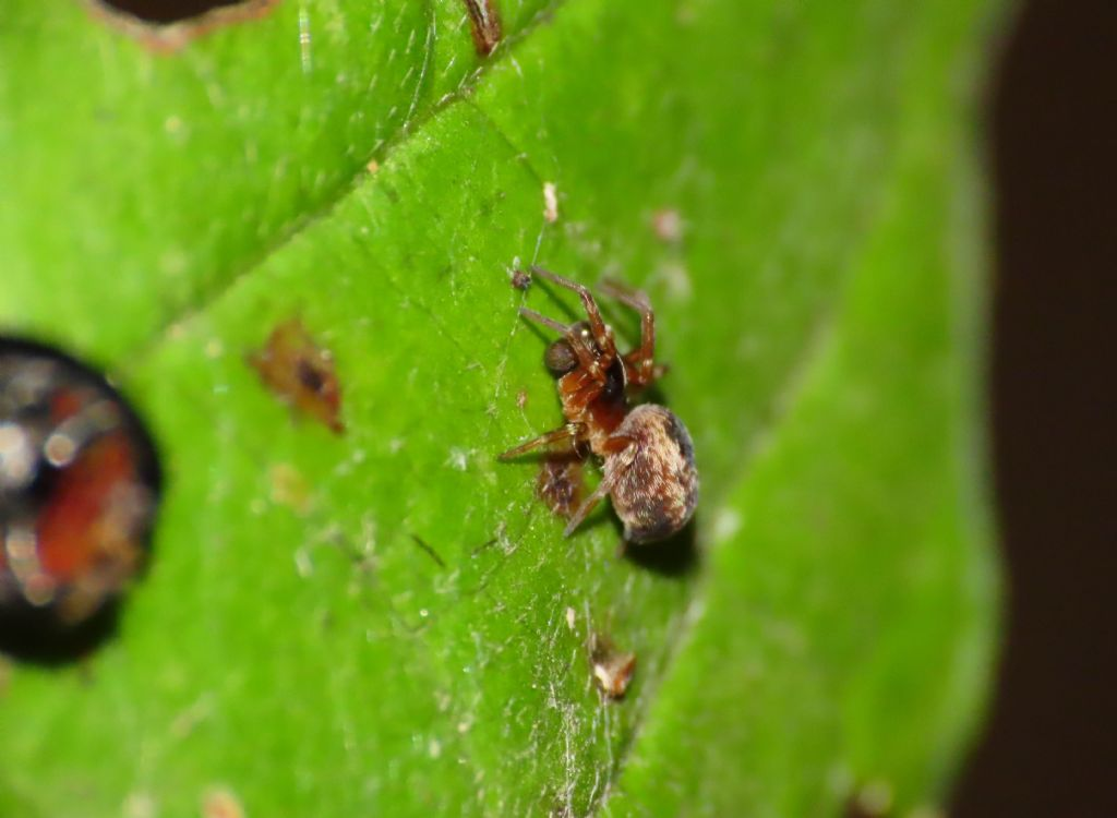 Dictynidae da identificare