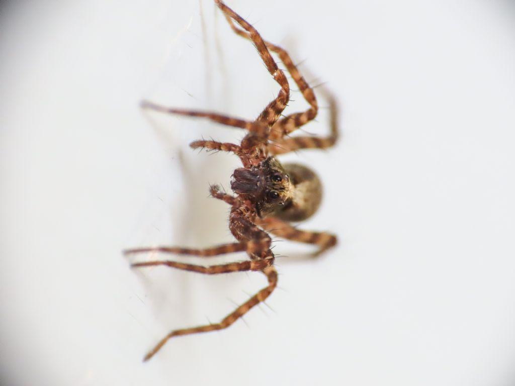 Lycosidae: Pardosa sp. - Bazzano (AQ)