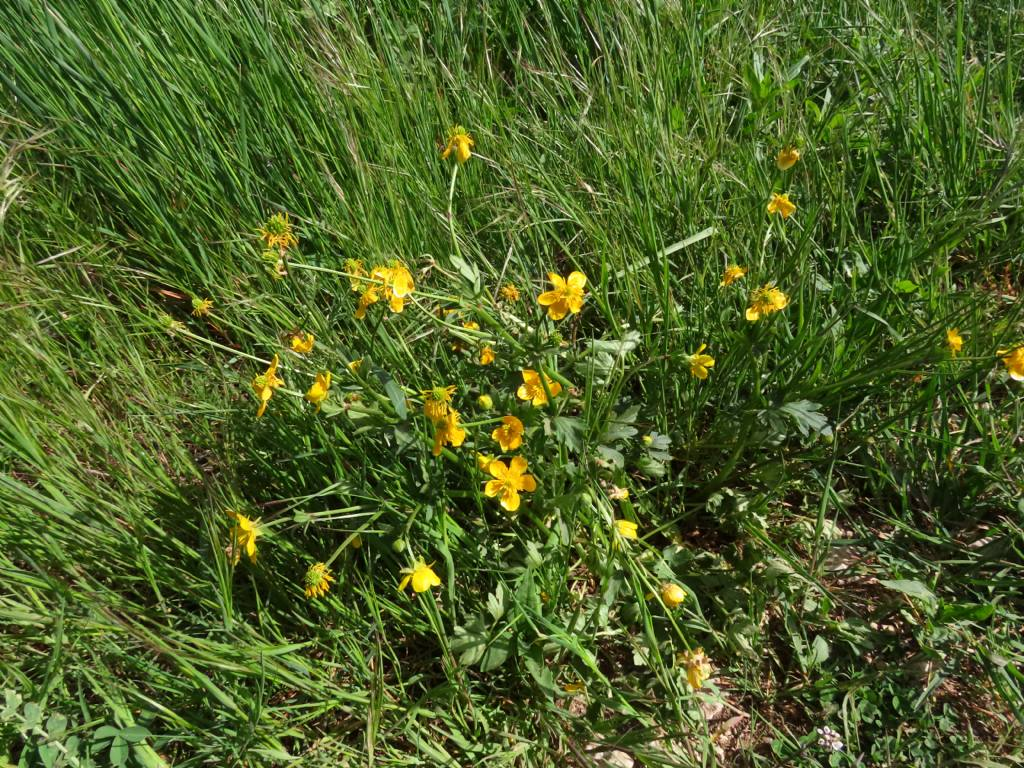 Ranunculus sardous da confermare