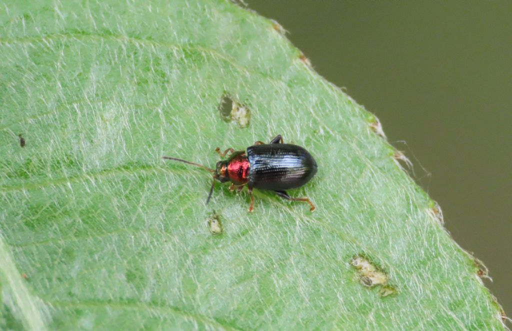Chrysomelidae: Crepidodera aurata
