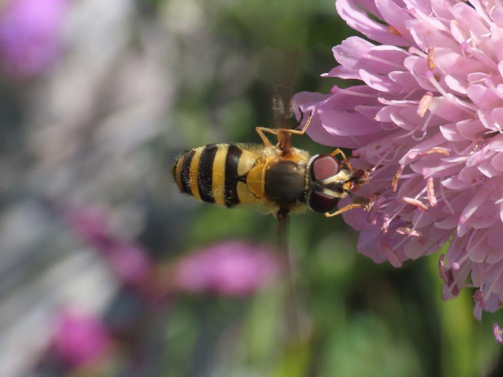 Syrphidae: Syrphus sp., femmina