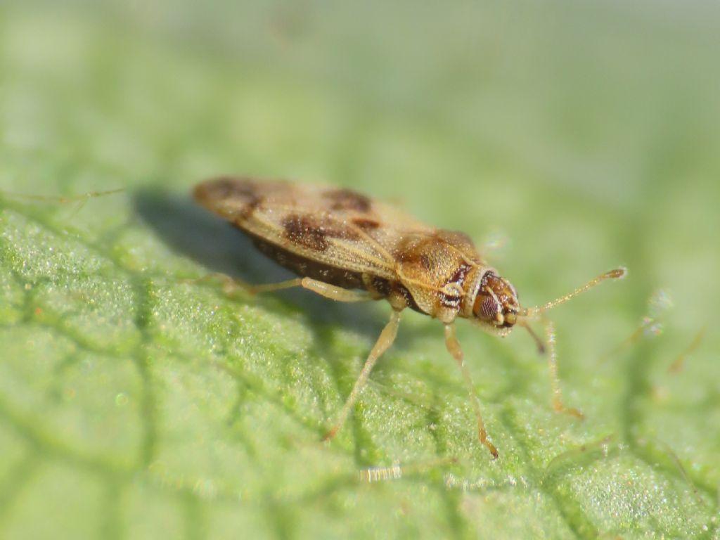Tingidae: Monosteira cf. unicostata