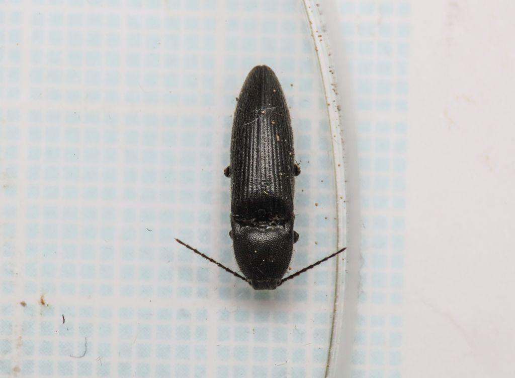 Melanotus? ... Melanotus sp.