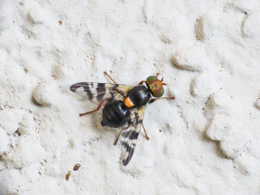 Tephritidae: Rhagoletis cerasi