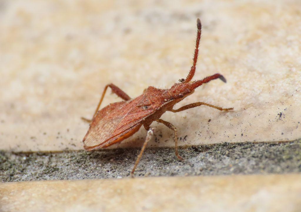 Coreidae: Coriomeris affinis