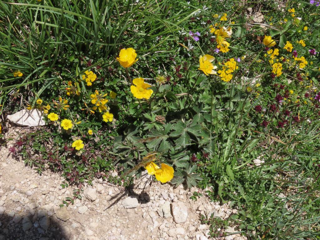 Ranunculus da identificare