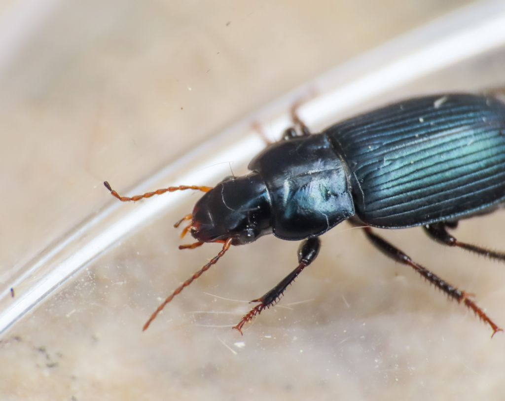 Carabidae: Harpalus honestus