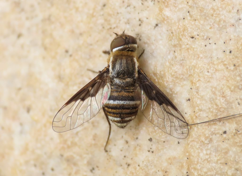 Bombyliidae: Exhyalanthrax?  Sì, Exhyalanthrax cfr. afer