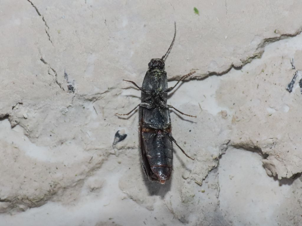 Elateridae: Hemicrepidius hirtus