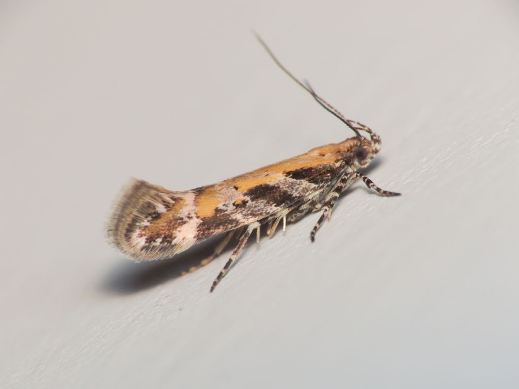 Aristotelia billii - Gelechiidae