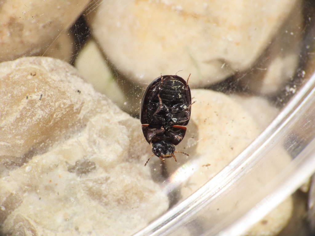Hydrophilidae: Coelostoma sp.