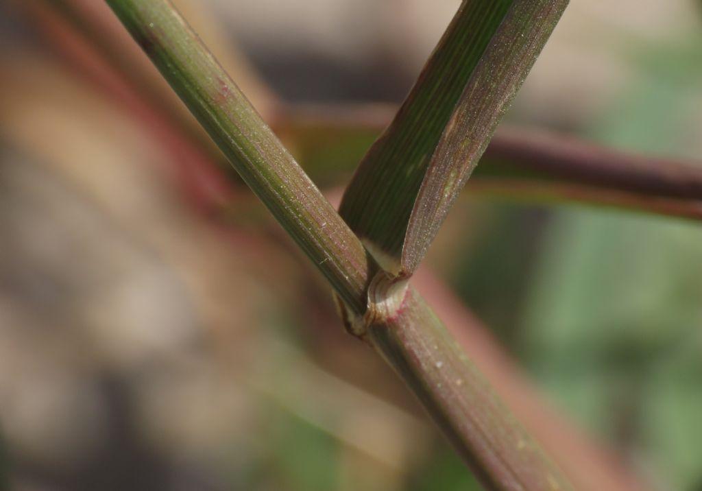 Poaceae:  Lolium perenne
