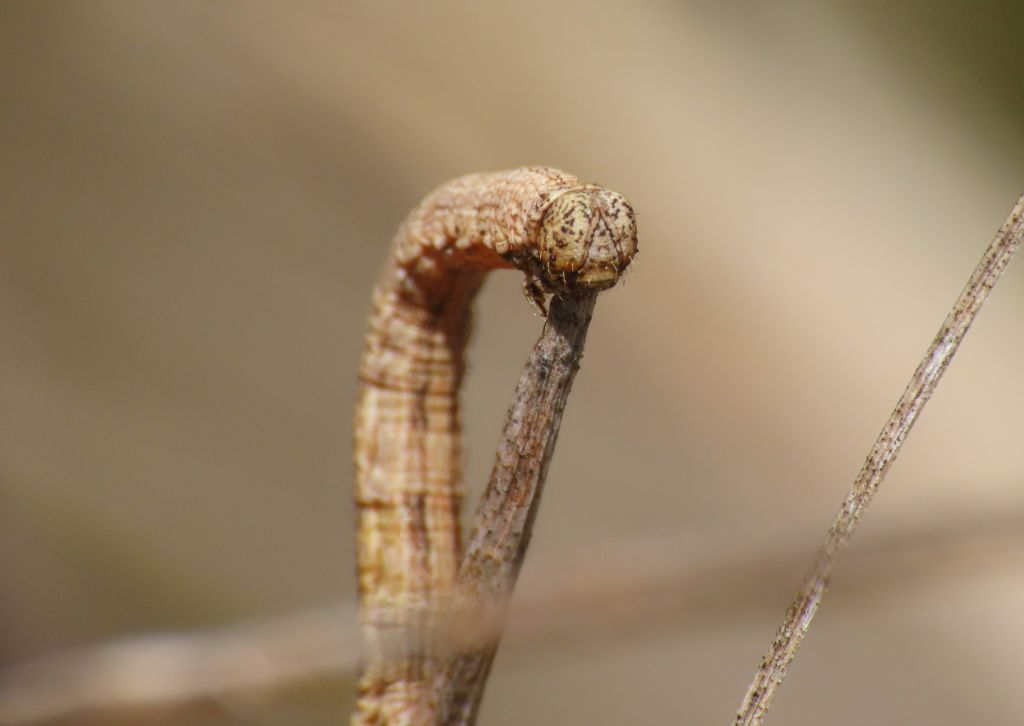 Bruco di Geometridae da identificare
