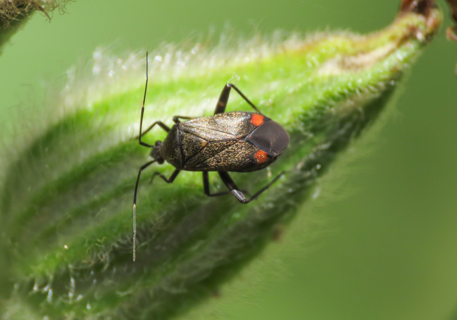 Miridae: Closterotomus cinctipes