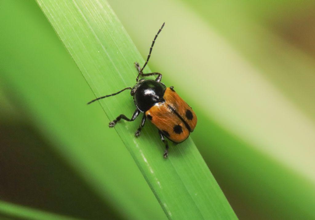 Chrysomelidae: Cryptocephalus (Cryptocephalus) imperialis