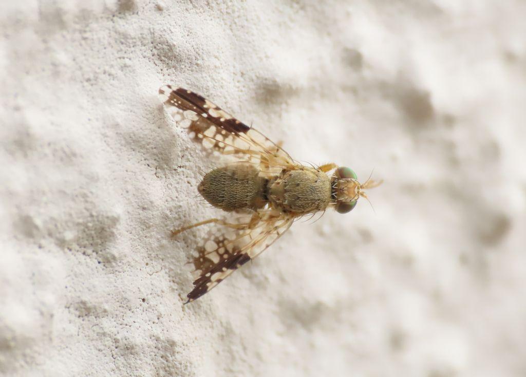Tephritidae: Tephritis bardanae