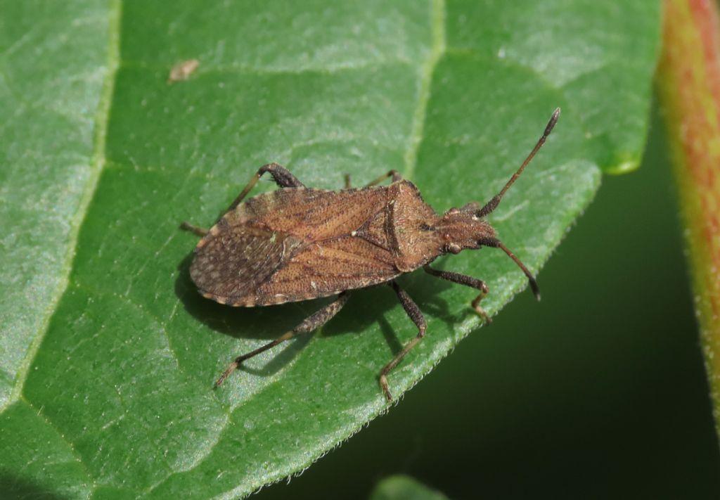 Coreidae: Anoplocerus luteus