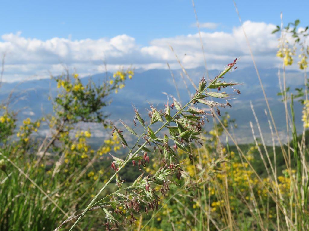 Poaceae: Festuca sp. (cfr.)