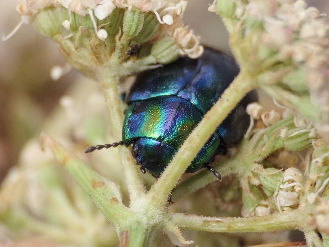 Chrysomelidae: Chrysolina cerealis mixta