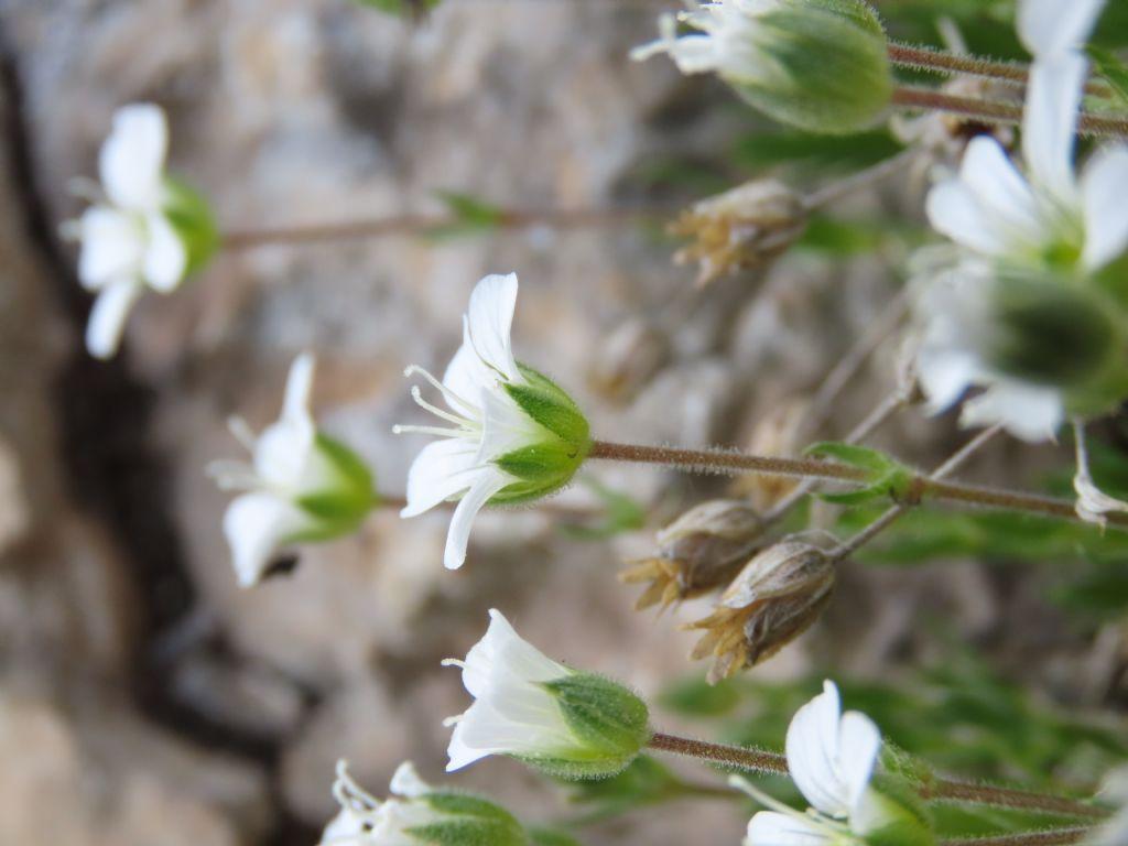 Caryophyllaceae: Arenaria grandiflora