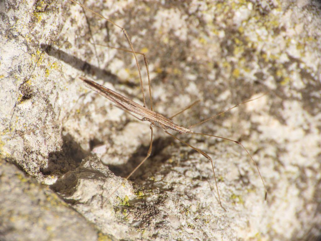 Berytidae: Neides tipularius