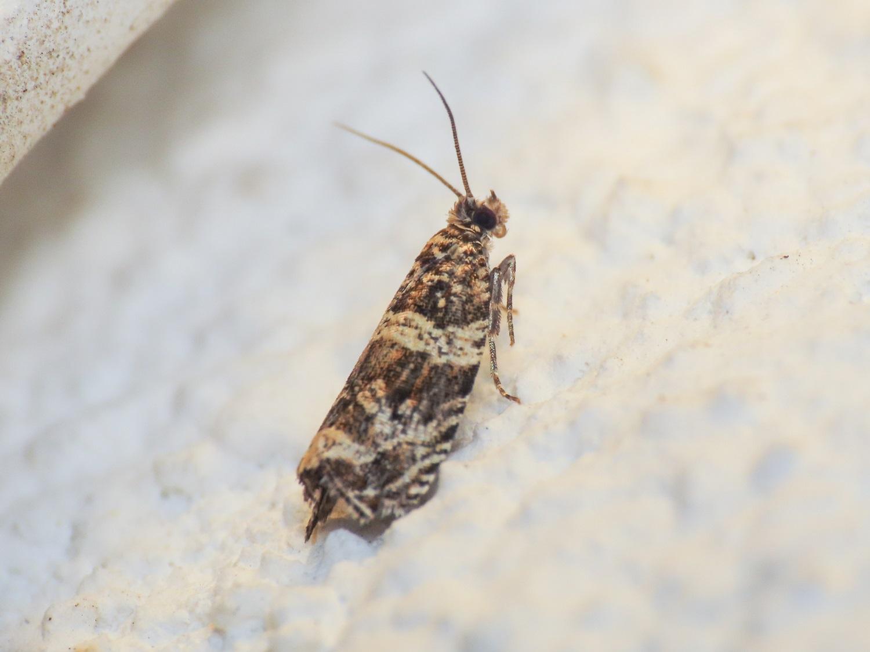 Tortricidae da identificare: Celypha cfr. flavipalpana