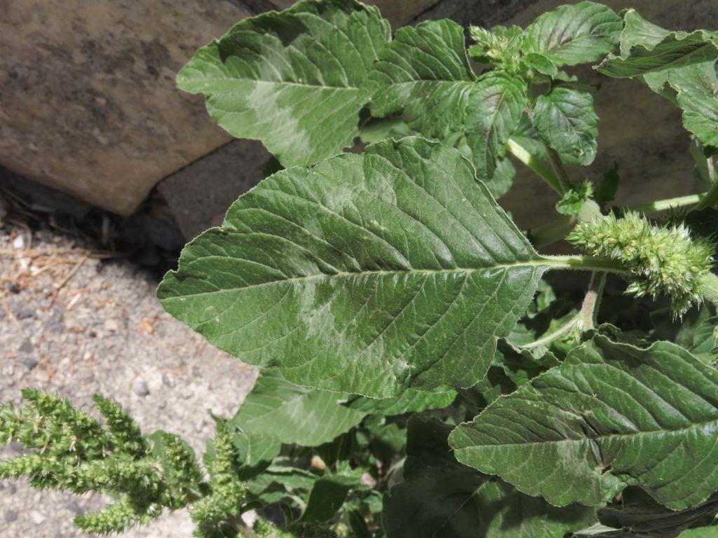 Amaranthus da identificare