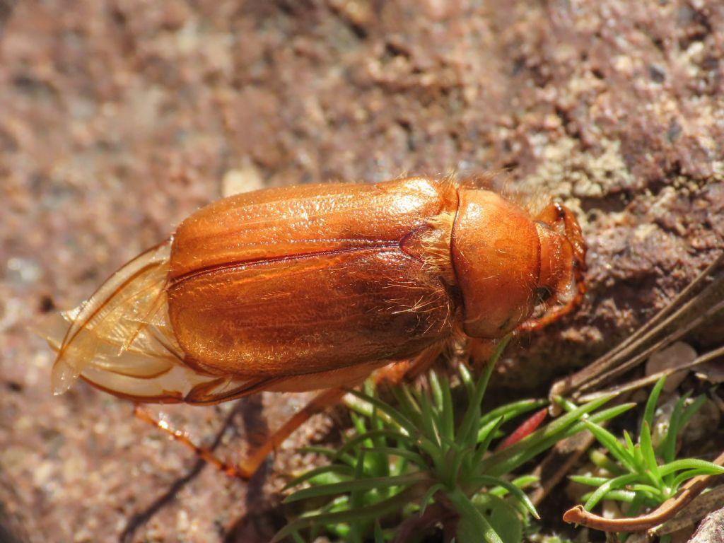 Melolonthidae: Firminus ciliatus vexillis
