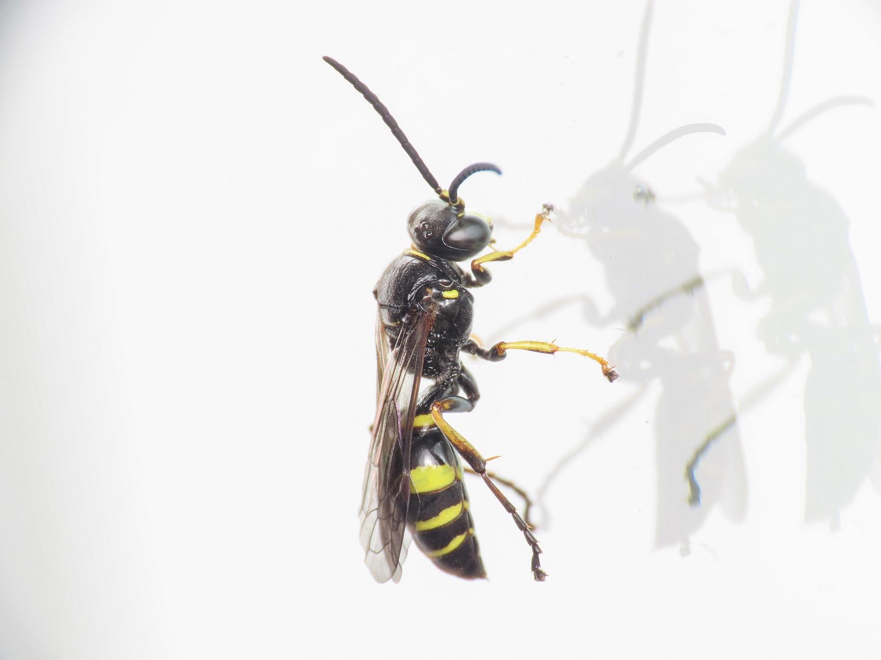 Crabronidae: maschio di Gorytes latecinctus