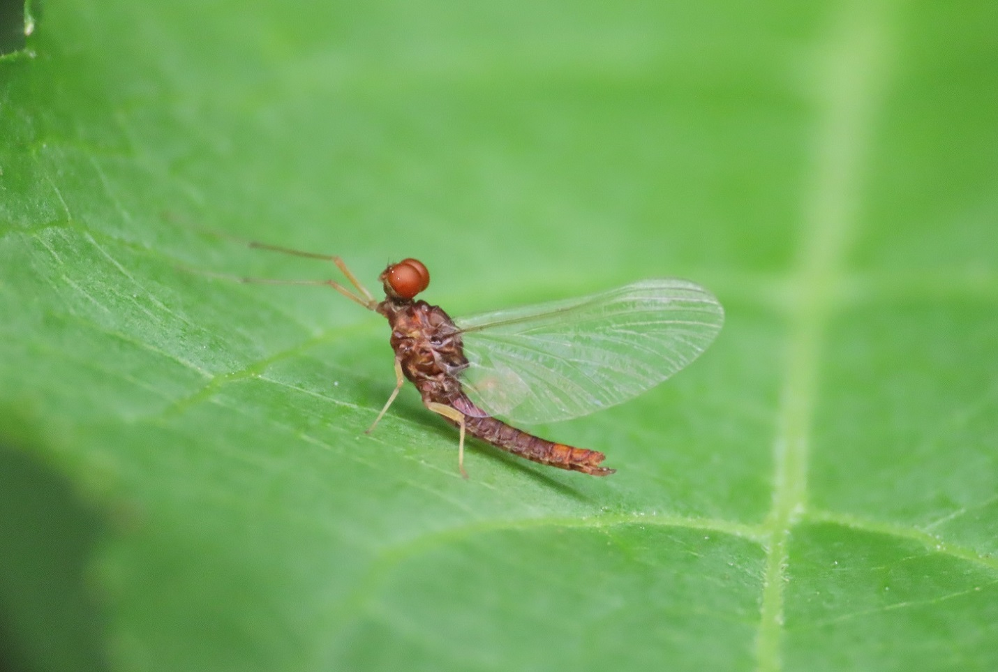 Ephemeroptera da identificare